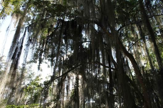 """Gallineros con cabellos de ángel, en el parque """"Gallineral"""", San Gil."""